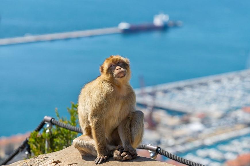Monos en Gibraltar: todas las claves para disfrutar de tu visita